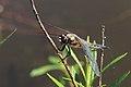 Vierfleck Libellula quadrimaculata 6452.jpg