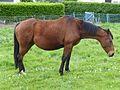 Vieux cheval bai île de Bréhat.jpg
