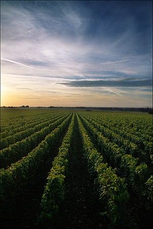 Chassagne-Montrachet wine - Vineyard of Chassagne-Montrachet