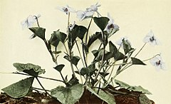 Viola rostrata WFNY-142A.jpg