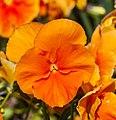 Viola x wittrockiana 'Padparadja', Jardín Botánico de Múnich, Alemania, 2013-05-04, DD 02.jpg