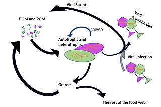 Viral shunt mechanism that maintains marine microbial diversity