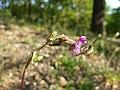 Viscaria vulgaris sl34.jpg