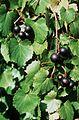 Vitis rotundifolia.jpg