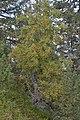 Vogelbeerenbaum und Zirbel auf Pitzberg Seiseralm.jpg