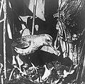 Vogels , nachtegaal, Bestanddeelnr 193-0928.jpg