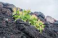 Volcano flower.jpg