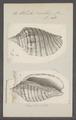 Voluta vexillum - - Print - Iconographia Zoologica - Special Collections University of Amsterdam - UBAINV0274 087 04 0036.tif