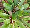 Vriesea fenestralis kz1.jpg