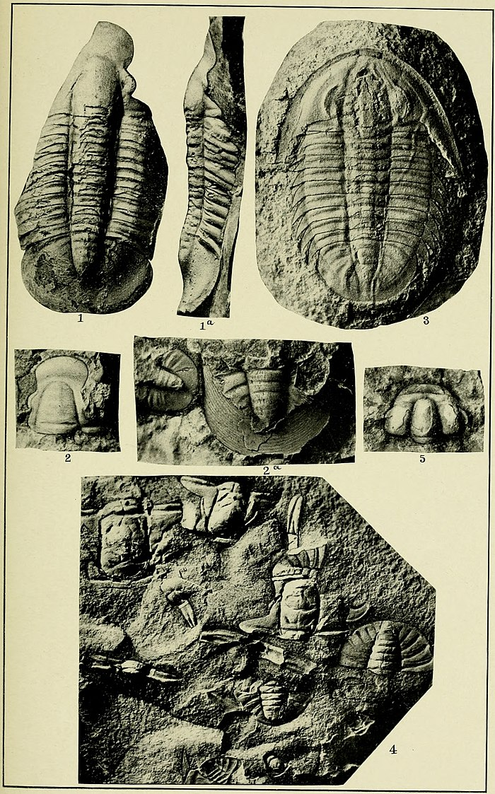 Walcott Cambrian Geology and Paleontology II plate 16.jpg