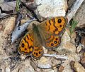 Wall Brown. Lasiommata megera. Female. (extra ocelli) - Flickr - gailhampshire.jpg