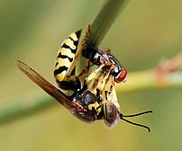 Wasp of the Crabronidae family (Bembix oculata...