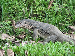 Water Monitor (about 1.5m long).jpg