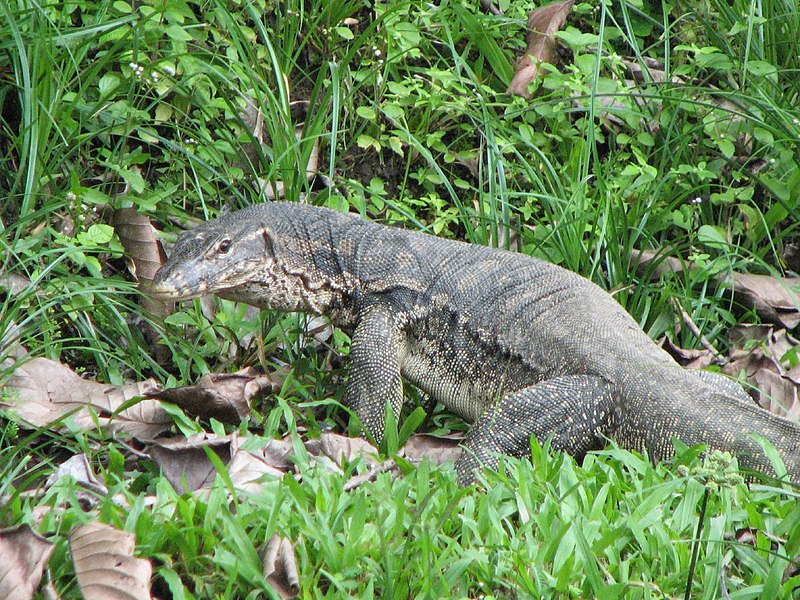 File:Water Monitor (about 1.5m long).jpg
