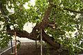 Weißer Maulbeerbaum Landstrasse 0267.jpg