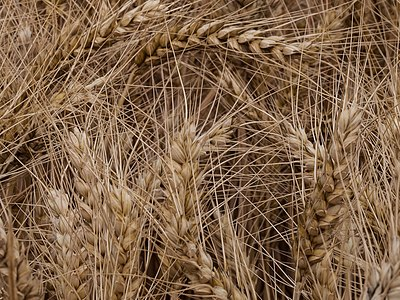 Wheat before the grain harvest