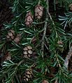 Western Hemlock (Tsuga heterophylla) - Flickr - S. Rae.jpg