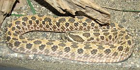 Description de l'image Western_Hognose_Image_001.jpg.