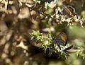 Western Pygmy Blue Butterfly 2 (8159001555).jpg