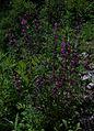 Whf purple 34.jpg