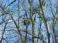 White-tailed eagle's nest (Haliaeetus albicilla).jpg