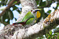 White-throated Toucanet (Aulacorhynchus albivitta) (8079736353).jpg