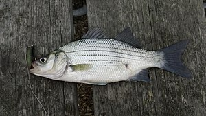 White bass - A white bass, caught in Grosse Pointe Woods, MI.
