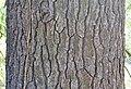White Pine Pinus strobus Bark.JPG