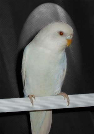 Ino budgerigar mutation - Image: White domesticated budgerigar