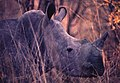 White rhino in Zimbabwe at sunset on Ektachrome (89018149).jpg