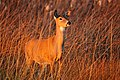White tailed Deer Seedskadee NWR (16177842575).jpg