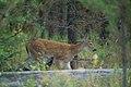 Whitetail fawn (4497696345).jpg