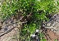 Wild Jasmine (Jasminum sp.) (11493705056).jpg