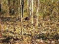 Wildlife's @ Bandipur Tiger Reserve - panoramio (3).jpg