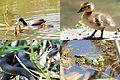 Wildlife around the ponds at Warnsborn at 4 June 2015 - panoramio.jpg