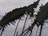 Coniferous trees in Germany damaged by windthrow