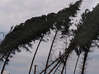 Wind - Conifers affected by windthrow