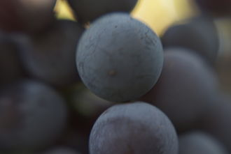 """Enfariné noir - The name Enfariné comes from the French word farine and refers to the dusting or """"bloom"""" of indigenous yeast that covers the berries as they ripen."""