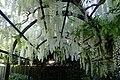 Wisteria floribunda 'Alba' kz05.jpg