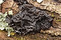 Witches' butter - Exidia nigricans - panoramio (12).jpg
