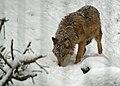 Wolf im Schnee.jpg