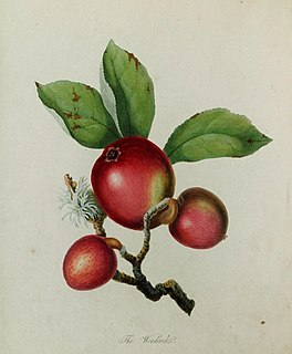 Woodcock (apple)