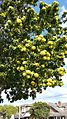 Xanthostemonchrysanthus137.jpg