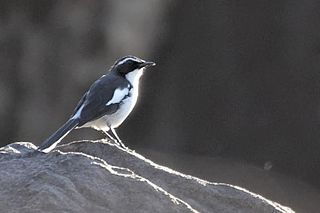 Angolan cave chat species of bird