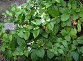 Xuclamel japonès Lonicera japonica.JPG