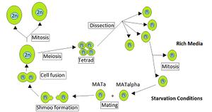 Heterothallism - Saccharomyces cerevisiae tetrad