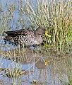 Yellow-billed Duck (Anas undulata) (32607147855).jpg