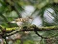 Yellow-browed warbler (Phylloscopus inornatus), Parc du Slot, Woluwé-St.-Lambert, Brussels (34053989676).jpg