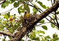 Yellow-footed Green Pigeon Treron phoenicoptera nest by Dr. Raju Kasambe (3).jpg
