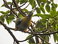 Yellow-footed green pigeon 10.jpg
